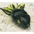 Southern Lure Scum Frog - black